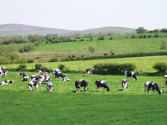 dairy-cow-field